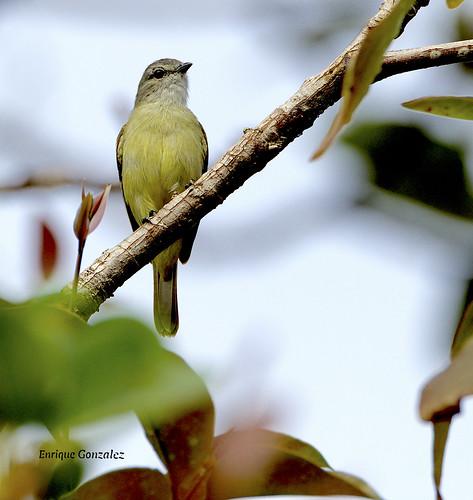 Yellow-croned Tyrannulet