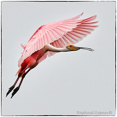 Roseate Spoonbill  approach (1 of 3)