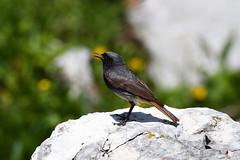 Rougequeue noir Phoenicurus ochruros - Black Redstart