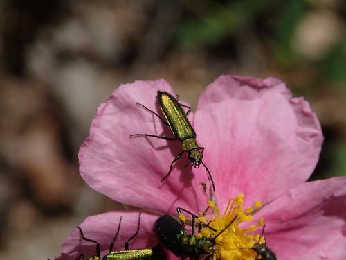 Psilothrix viridicoerulea auf rosa Sonnenröschen