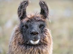 Portrait of a brown llama