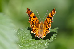 Polygonia c-album - Photo of Trappes