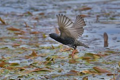 Etourneau-sansonnet - Sturnus vulgaris - European starling - Photo of Toulouse