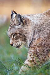 Profile of the lynx waking