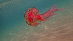 luminescent jellyfish