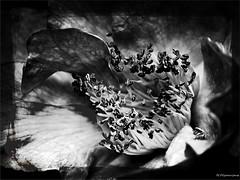 Camellia sinensis - Photo of Nantes