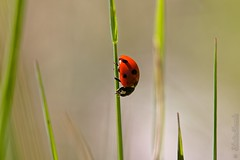Coccinellidae - Ladybug - Coccinelle - Photo of Planioles