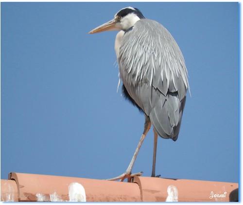 Un héron sur le toit - A heron on the roof