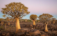 Image by NoVice87 (92110231@N03) and image name Quiver Trees photo  about Quiver Tree forest in Namibia as the sun sets behind me.