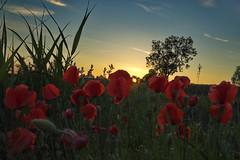 Mohnblumen im Abendlicht