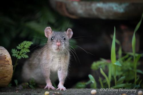 Rat brun - Surmulot / Brown rat