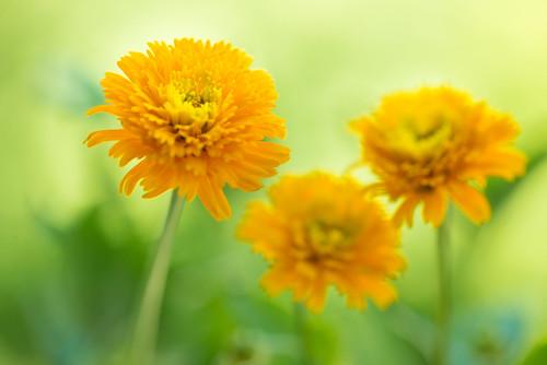 marigold 2207