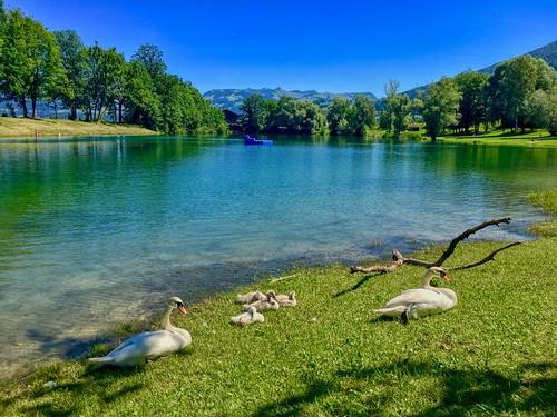 Swan family at lake Kieferer See in Kiefersfelden, Bavaria, Germany