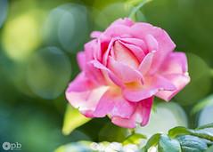 Belle rose rose - Photo of Montfermeil