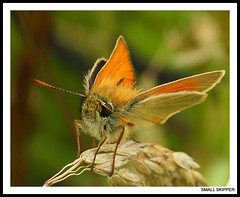 Small Skipper. (M)