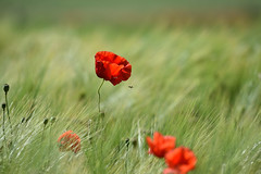 Rouge Coquelicot - Photo of Biblisheim