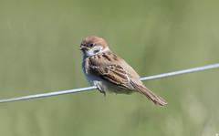 Tree Sparrows.