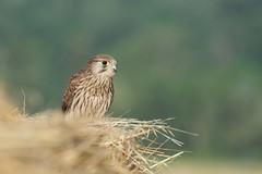 Faucon crécerelle - Falquet - Common kestrel - Falco tinnunculus