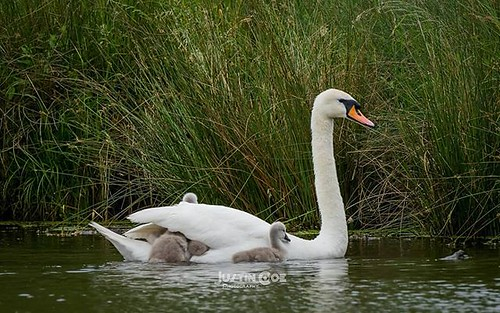 During my morning dog walk with willow. I come across these beautiful cygnet and their mum, as she swaming across the lake she carried fledglings under her wing hitching a ride. · · · · · #cygnet #swan #cygnets #swans #cygneturewoodworks #swansea #cygnet3