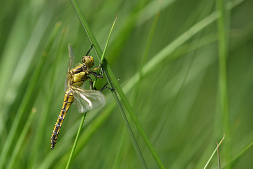 Warriorfly