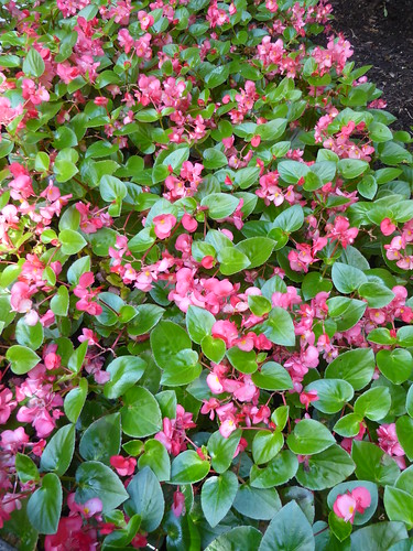 Chicago, Museum of Contemporary Art (MCA) Area, Pink Begonia Flower Bed