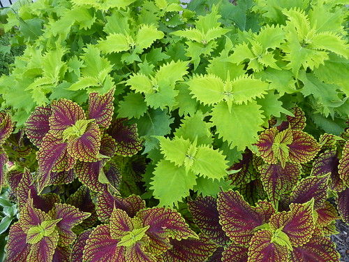 Chicago, Museum of Contemporary Art (MCA) Area, Coleus Plants