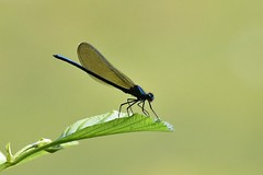 Caloptéryx vierge - Calopteryx virgo - Beautiful demoiselle - Photo of Toulouse