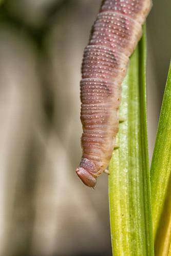 Caterpillar in Garden