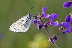 Aporia crataegi ♀ - Piéride de l'aubépine ♀ - Photo of Montet-et-Bouxal