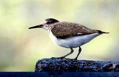 The young sandpiper