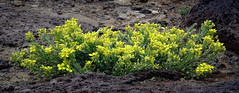 Fresh yellow emerges from volcanic soil