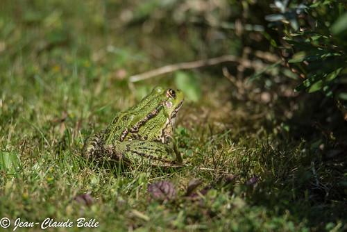 Rana esculenta - Green Frog