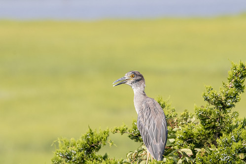 Yellow-crowned Heron on the Trees