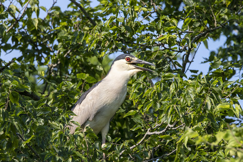 Night-Heron Calling for his Friend