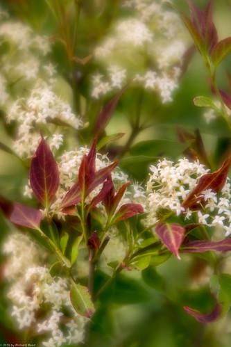 Blossom IV : Northern Bedstraw
