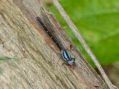 Blue-tipped Dancer (Argia tibialis)