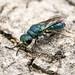 Cuckoo Wasp (Chrysididae) 119z-6230359
