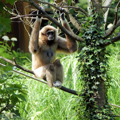 Gibbon lar - Photo of Cagny