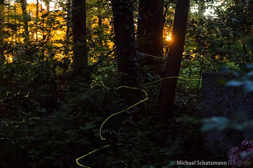 Glühwürmchen im Waldfriedhof