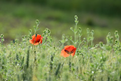 Rouge coquelicot (2) - Photo of Biblisheim
