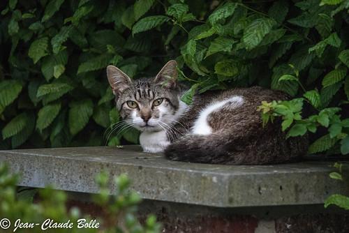 Domestic Cat - European Shorthair