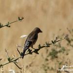 Aves en las lagunas de La Guardia (Toledo) 29-6-2019