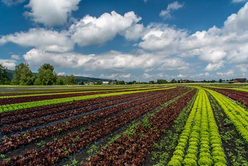 Salatfäld