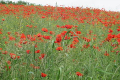 Coquelicots - Photo of Parigny-la-Rose
