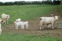 La Nièvre : mignons charolais