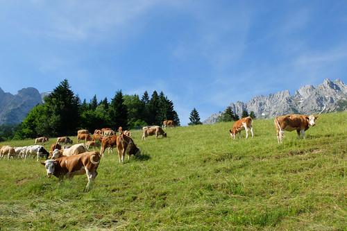 Happy cows -