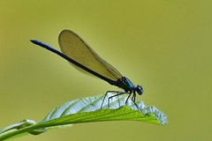 Caloptéryx vierge - Calopterix virgo - Beautiful demoiselle - Photo of Toulouse
