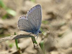 Provençal Short-tailed Blue (Cupido alcetas) - Photo of Cause-de-Clérans