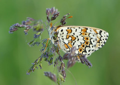 Glanville Fritillary (Melitaea cinxia) - Photo of Baneuil