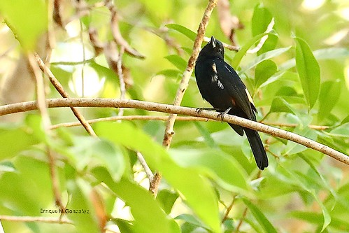 Fulvous-crested Tanager